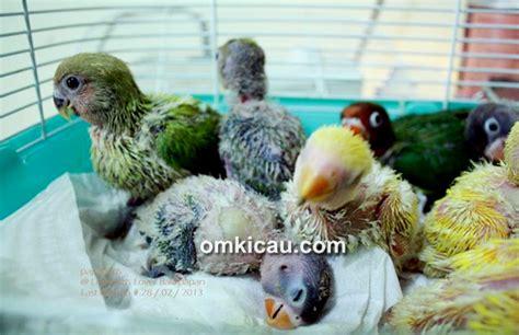 Tempat Pakan Burung Labet membuat formula pakan lolohan anakan lovebird ala ir