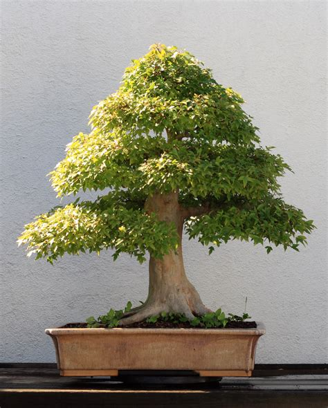 bonzi tree file trident maple bonsai 202 october 10 2008 jpg