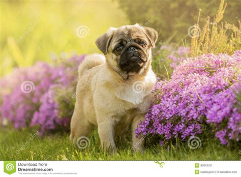pugs and roses pug puppy in flowers stock image image of breed