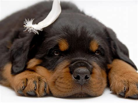 rottweiler puppies puppy dogs rottweiler puppies