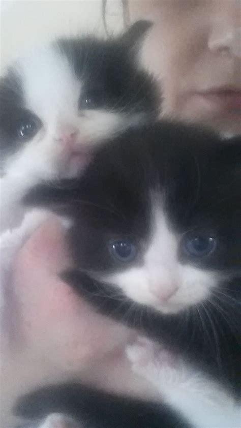 ragdoll x ragdoll x kittens gateshead tyne and wear pets4homes