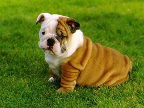 imagenes de cachorros bulldog ingles lista perros bonitos del mundo