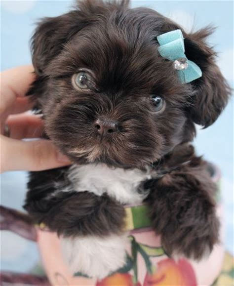 havanese vs shih tzu 1000 ideas about small breeds on smallest