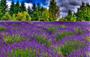 thom zehrfeld photography cool lavender fields