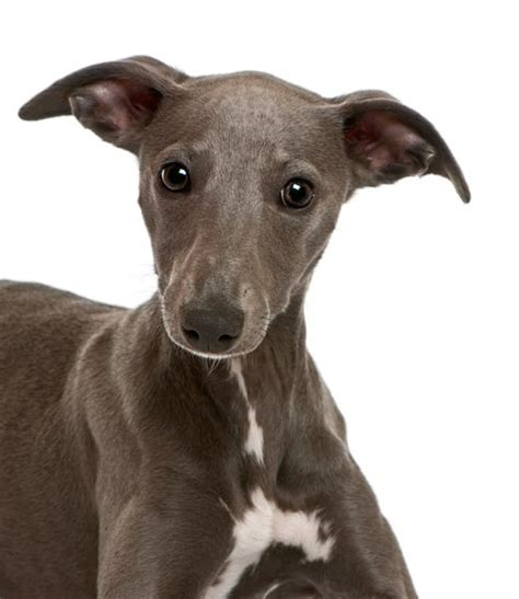 whippet breed whippet dogs www pixshark images galleries with a bite