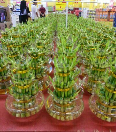 new year bamboo plant new year lucky bamboo shoots sold in malaysia