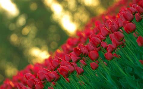 tulipani coltivazione in vaso coltivazione tulipani bulbi come coltivare i tulipani