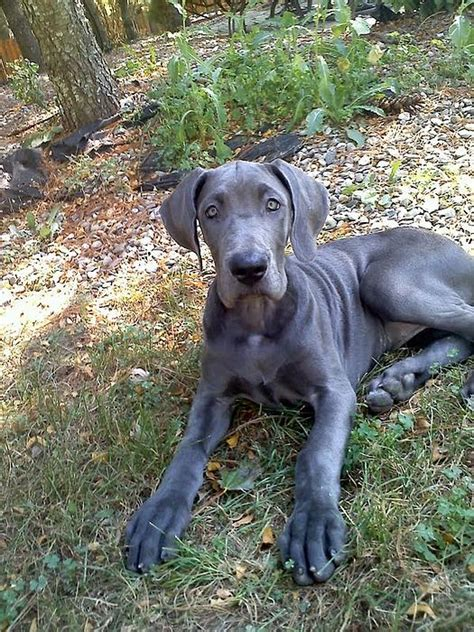 blue great dane puppy dogs blue great danes