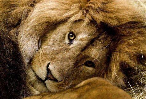 imagenes de leones chidos imagenes de tigres leones pumas im 225 genes taringa