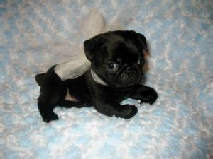 pictures of baby pugs for sale black baby pugs puppies puppy images piglets and puppys