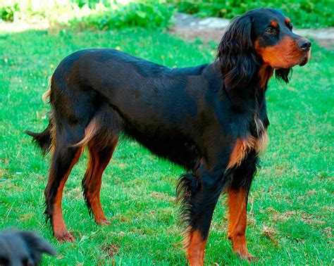 setter dog gordon gordon setter caring for correct feeding all about dogs