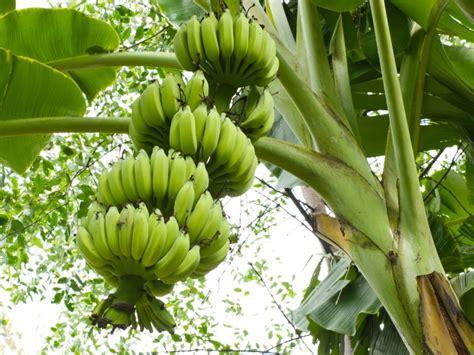 langkah praktis  menanam pisang