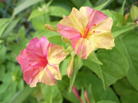 four o clock flowers how to grow four o clocks