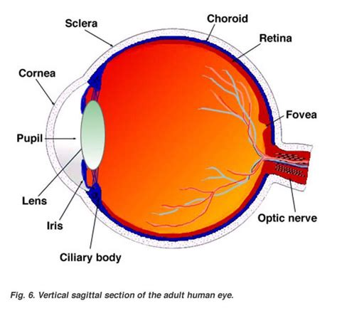eyeball diagram labeled labeled eye diagram anatomy organ