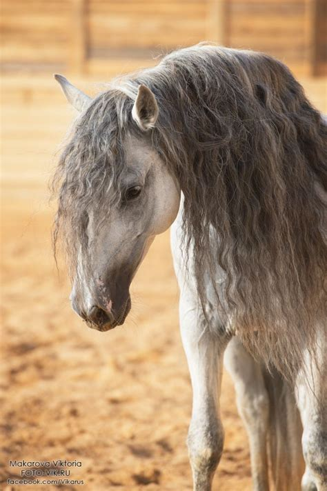 an andalusian 25 best ideas about andalusian on horses grey horses and pretty horses
