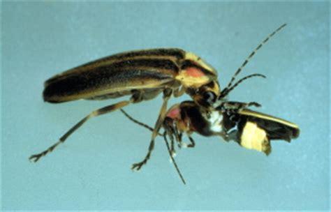 photuris versicolor