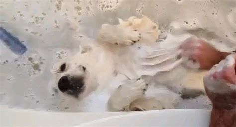 golden retriever bath it s a s the golden retriever in a world of bliss at bath time daily mail