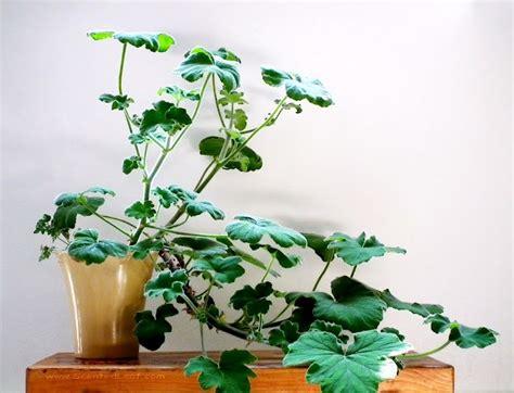 best scented geranium indoors 27 best images about geranium pelargonium on
