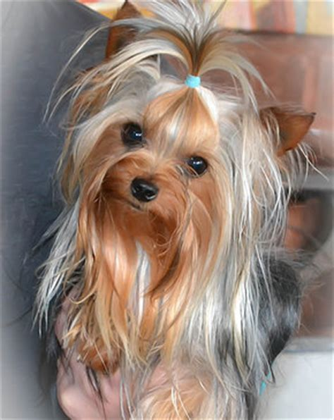 doll yorkies for sale yorkie stud service stud service for yorkies in tn