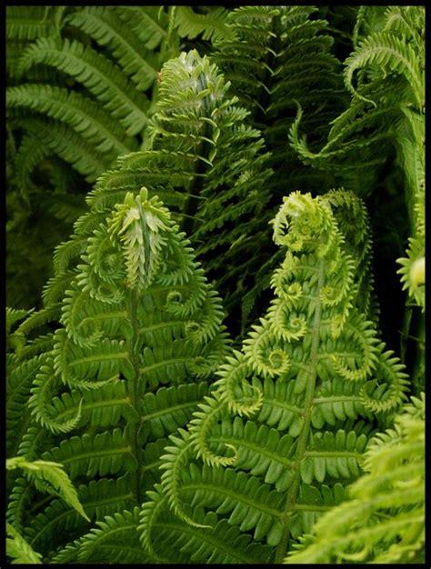 267 best images about gardening ferns on pinterest
