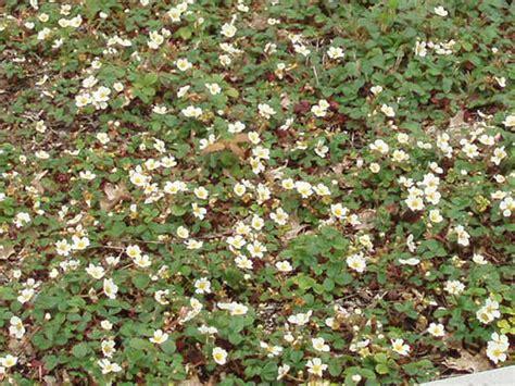 ornamental strawberry coastal strawberry fragaria
