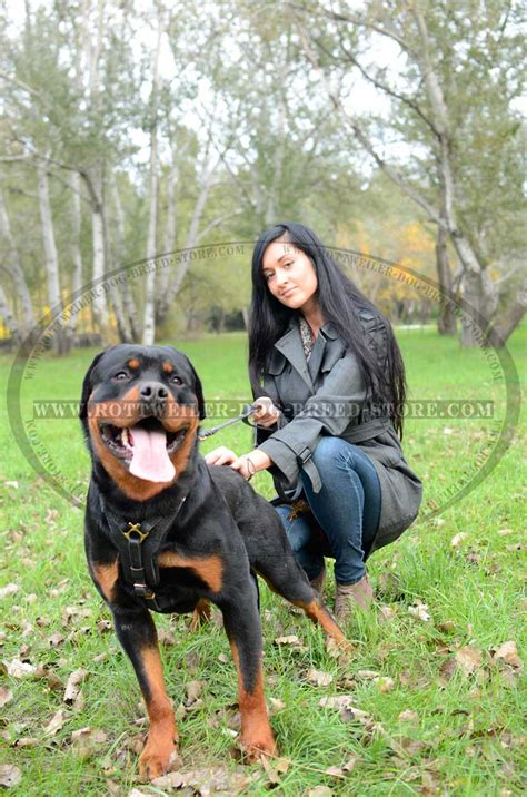 how should i walk my rottweiler field leather harness y shaped chest plate
