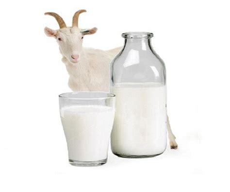 susu kambing segar susu lembu segar syahrilhafizcom