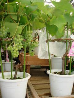 Bibit Buah Tin Tulungagung menanam di pot cara menanam dan teknik budidaya tanaman
