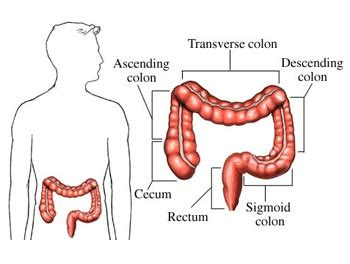 three sections of the large intestine intestines human body find fun facts