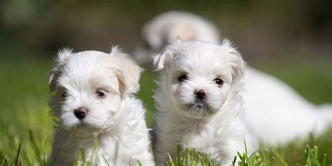 Does Maltese Shed by How To A Maltese Breeds Picture