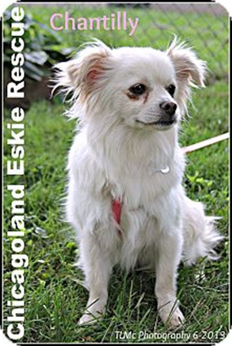 king charles spaniel and pomeranian chantilly adopted elmhurst il pomeranian cavalier king charles spaniel mix