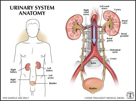 diagram of the urinary system the osmotic regulation and urinary system chapters