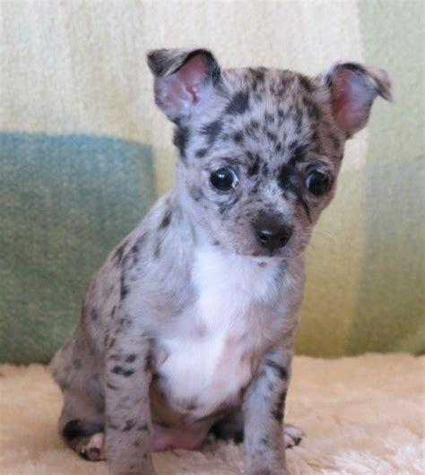 blue merle chihuahua puppies 1000 ideas about teacup chihuahua puppies on