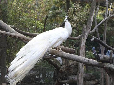 pavos reales pavo real white pavos reales pictures to pin on pinterest