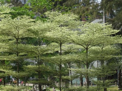 Jual Bibit Cabe Kencana ketapang kencana jual bibit pohon tanaman