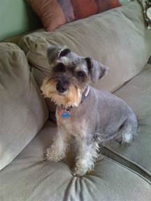 miniature schnauzer hair styles pictures types of schnauzer haircuts dog breeds picture