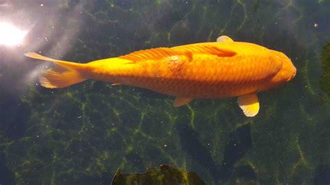 goldfisch schuppen stehen ab fishcare schuppen stehen ab