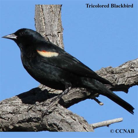 black bird tricolored blackbird tricolored blackbird pictures