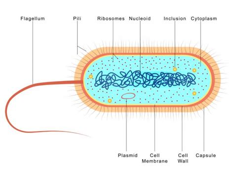 diagram bacterial cell bacteria cell images search