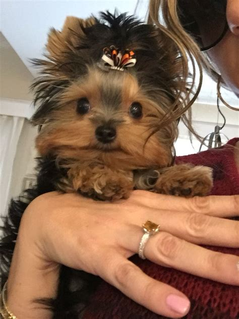 yorkshire terrier blond photos hairstyle gallery 25 b 228 sta yorkie hairstyles id 233 erna p 229 pinterest yorkie