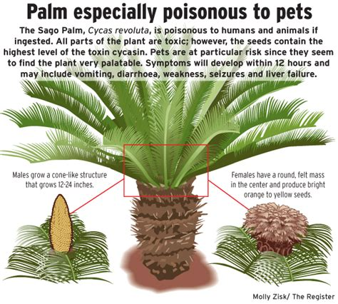 palm dogs are sago palms killing our pets sago palm sago palm tree and gardens