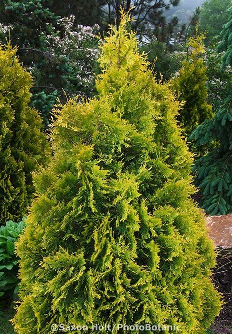 yellow chartreuse foliage evergreen shrub dwarf conifer - Schip Laurel Turning Yellow