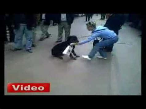 are rottweilers with cats cat attacks rottweiler