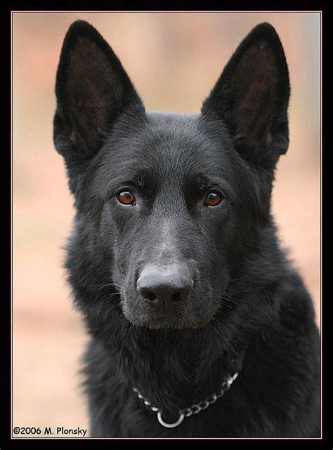 all black german shepherd puppies all black german shepherd getting you in the future germanshepherd dogs german
