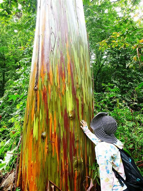 rainbow trees rainbow tree photo by tatsuro murayama at kosrae