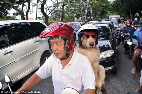 golden retriever indonesia pet dogs ride motorcycle with owner in indonesia daily mail