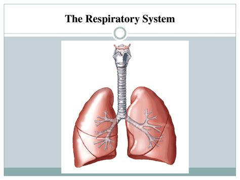 images of the respiratory system how does your respiratory system work fosfe