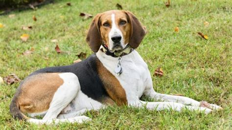 american coonhound puppies american coonhound dogs and puppies