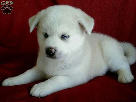 pomsky puppies for sale in pa pomsky puppies for sale in pa pets pomsky puppies for sale pomsky
