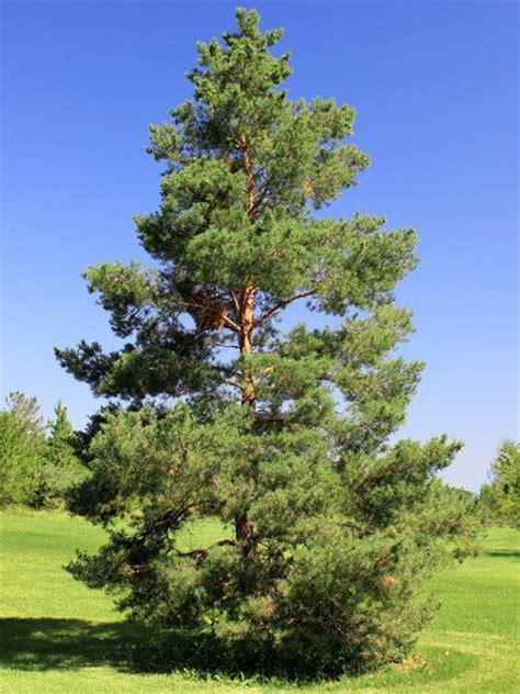 scotch pine trees scotch pine for sale treetime ca
